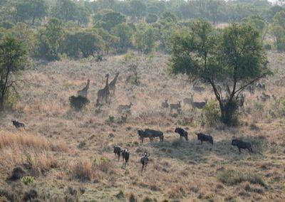 Giraffe, wildebeest, eland and zebra