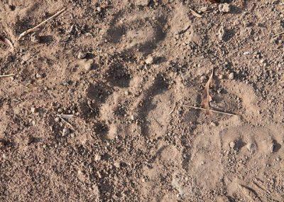 Leopard tracks!